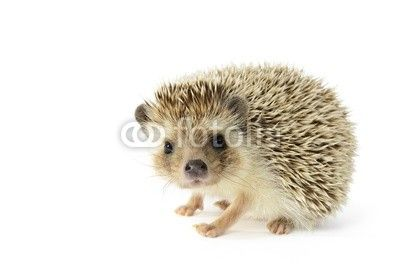 Hedgehog (erinaceus albiventris) isolated on white background.