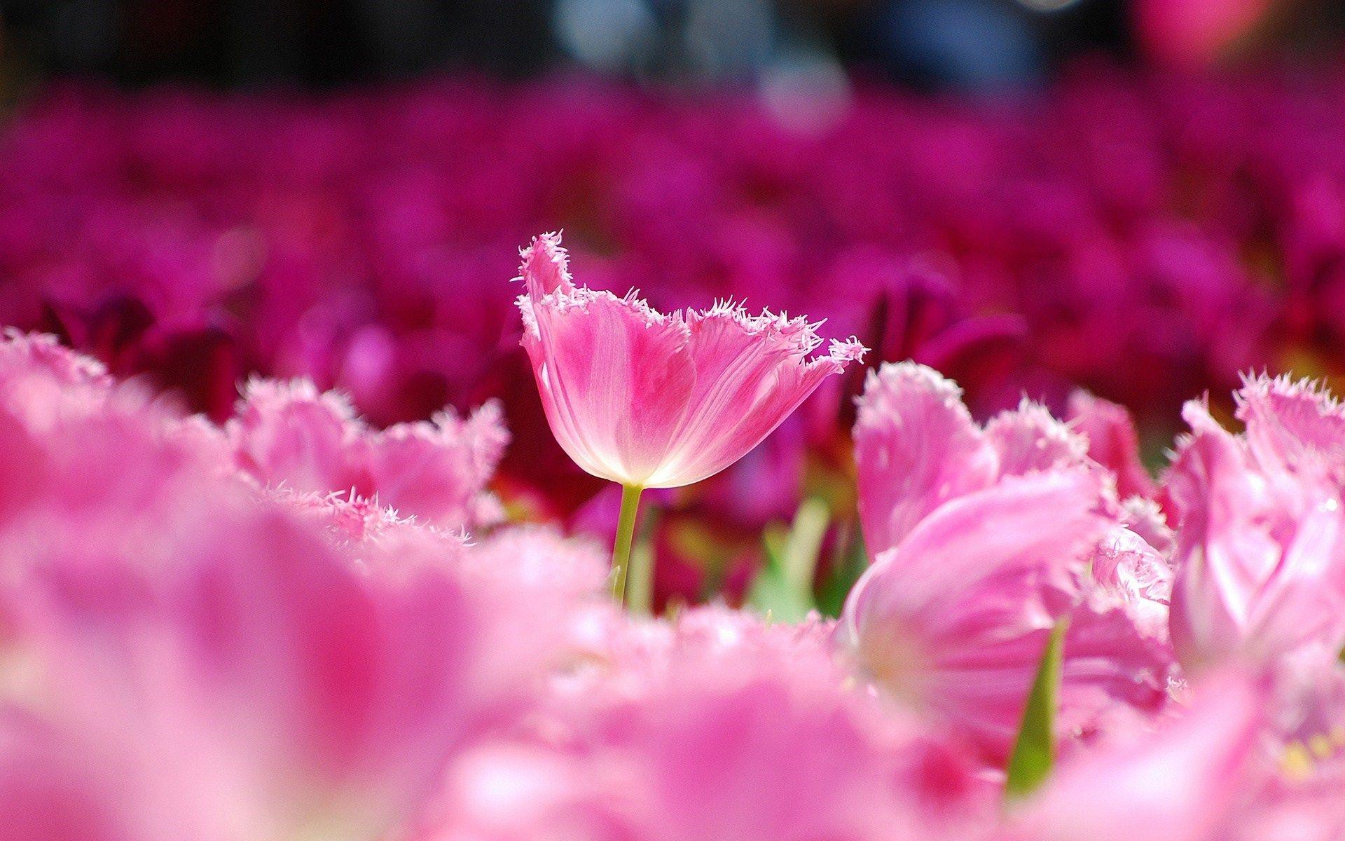 Spring Tulips Lale Pinterest Flower Wallpaper Pink Flowers