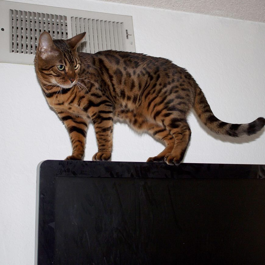 Always Being Naughty Get Off Of The Tv Cat Catstagram Catsrequest Catsofinstagram Cats Of Instagram Bengalcat Bad Cats Cats Of Instagram Bengal Cat