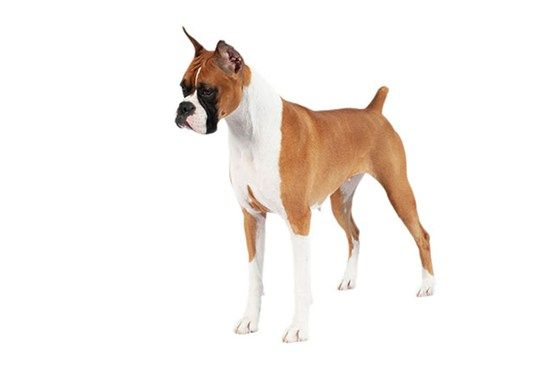 Find The Best Dog Breed For You Purina Short Haired Dog Breeds Dog Breeds Short Haired Dogs