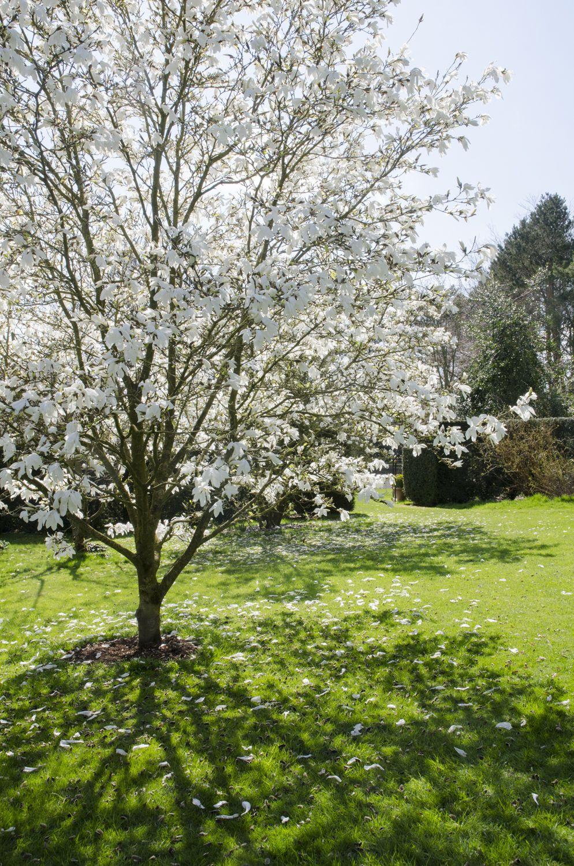 Flowering Magnolias 7 Favorite Trees To Plant Gardenista Trees To Plant White Flowering Trees Magnolia Tree Landscaping