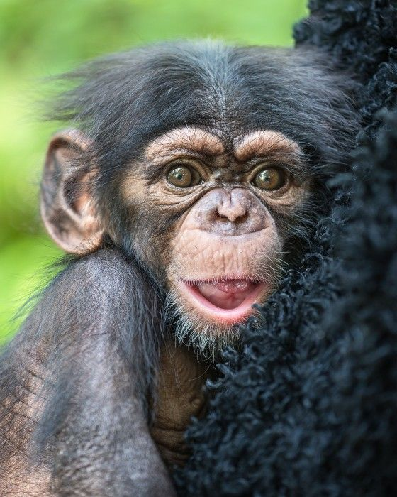 Chimp Troop Now Houses Five Babies Under Three Years Old A Rare Feat The Los Angeles Zoo Is Extra Thankful This Holi Baby Chimpanzee Chimpanzee Deadly Animals