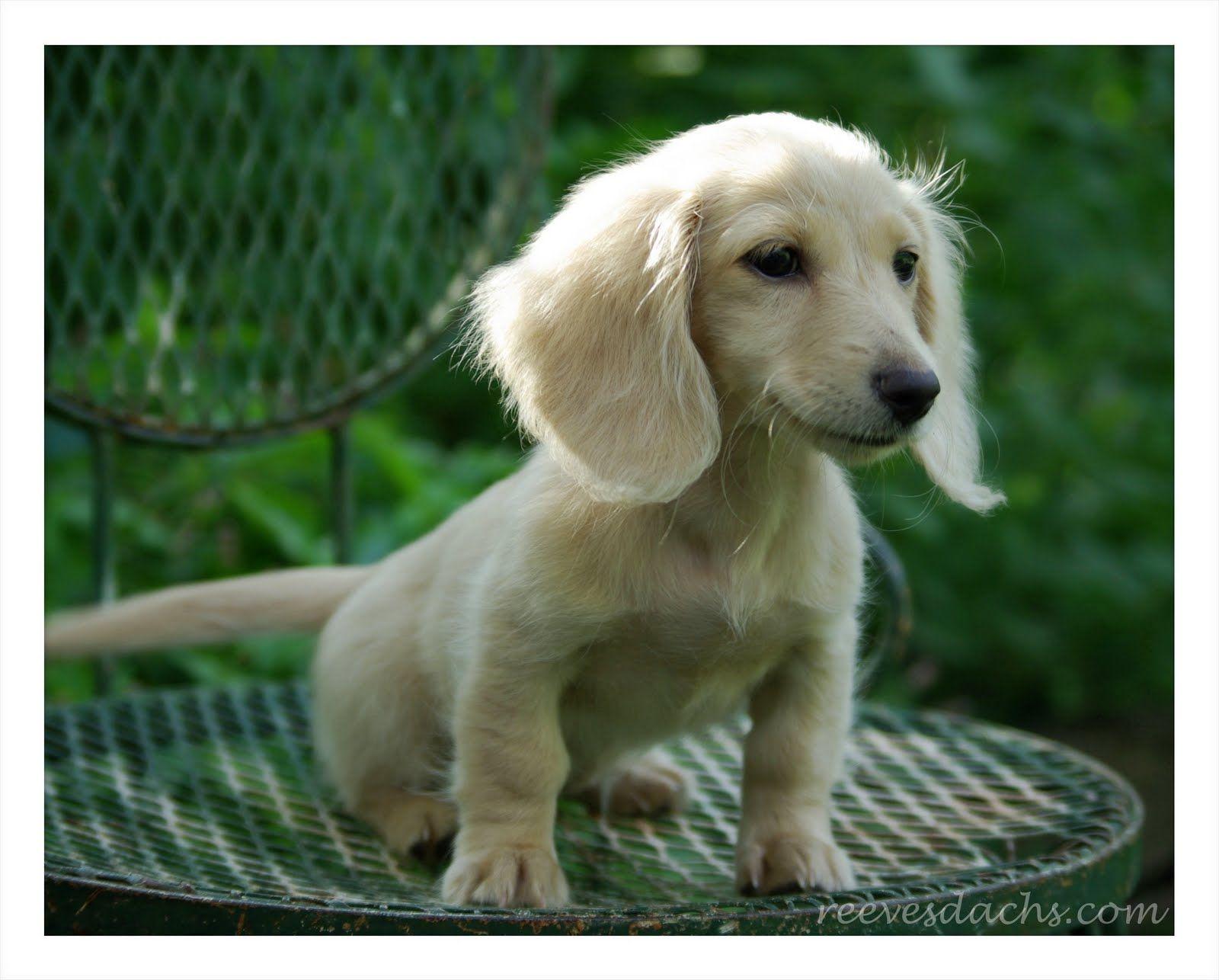 Breeder Of True To Size Miniature Dachshund Puppies Diamond