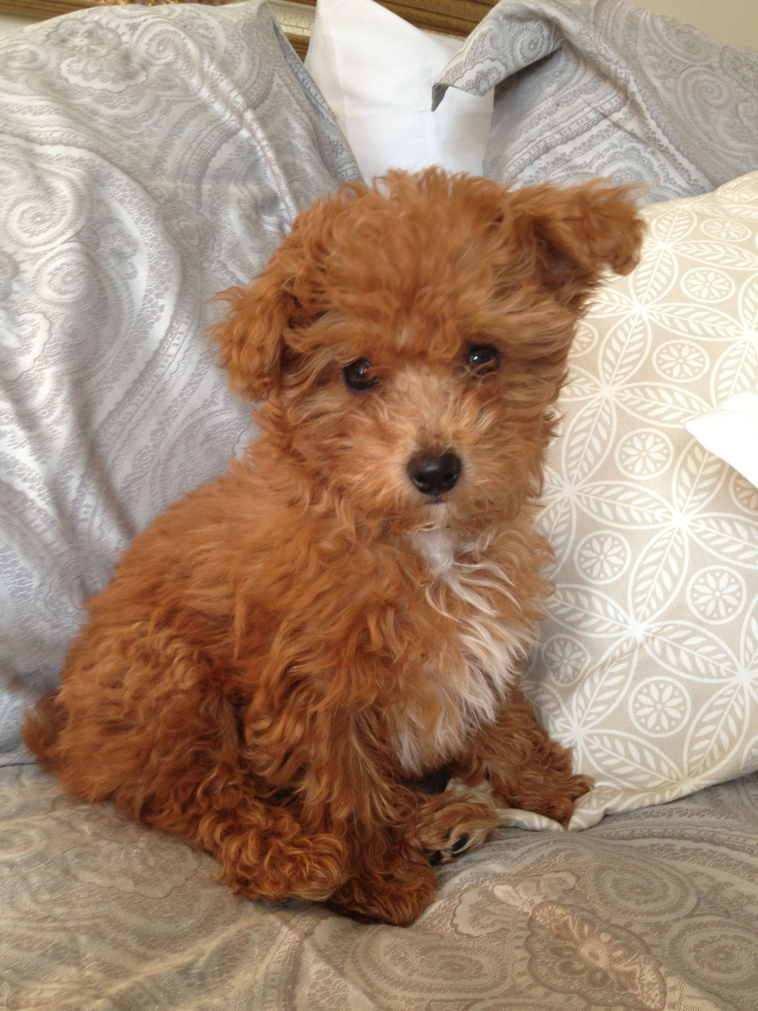 yorkiepoo dogs cute Pinterest Dog