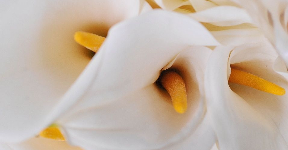 Resultado de imagem para flor copo de leite