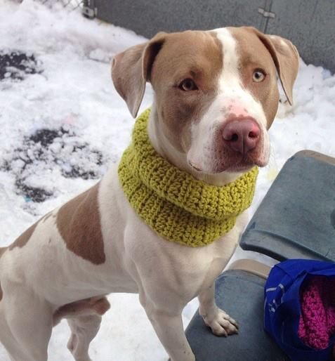 TO BE DESTROYED SAT. 02/15/14 Manhattan Center COOLIO - A0991117 MALE, WHITE / BROWN, PIT BULL MIX, 1 yr, 6 mos STRAY - STRAY WAIT, NO HOLD Reason STRAY Intake condition NONE Intake Date 02/05/2014, From NY 11213, DueOut Date 02/08/2014 Original thread: https://www.facebook.com/photo.php?fbid=753860981293450&set=a.617938651552351.1073741868.152876678058553&type=3&permPage=1
