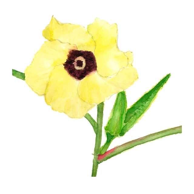 オクラの花 野菜の花 高塚由子 Yoshiko Taaktsuka 水彩画 Watercolor イラスト 花 イラスト イラスト 水彩