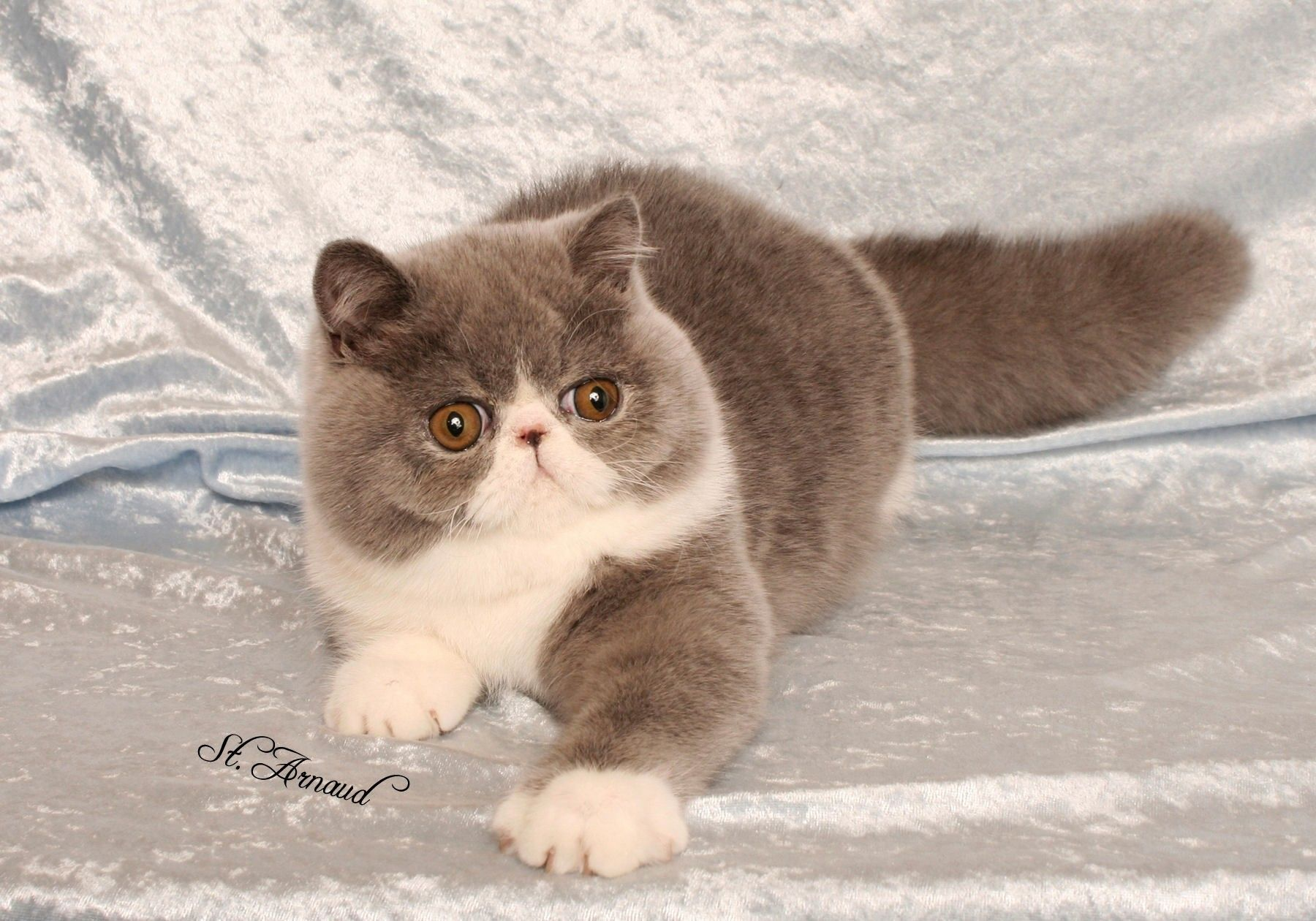 Exotic shorthair cats and Exotic shorthair kittens http