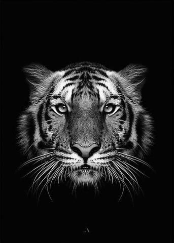 Black Tiger Big Cats Art Tiger Pictures Animal Planet