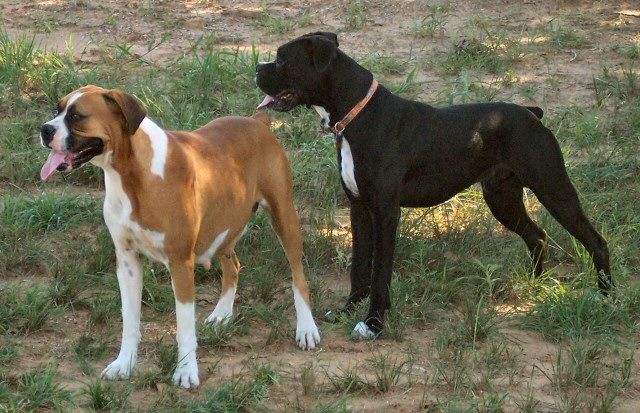 AKC Black Boxer Champion Boxer Puppy For Sale In Texas