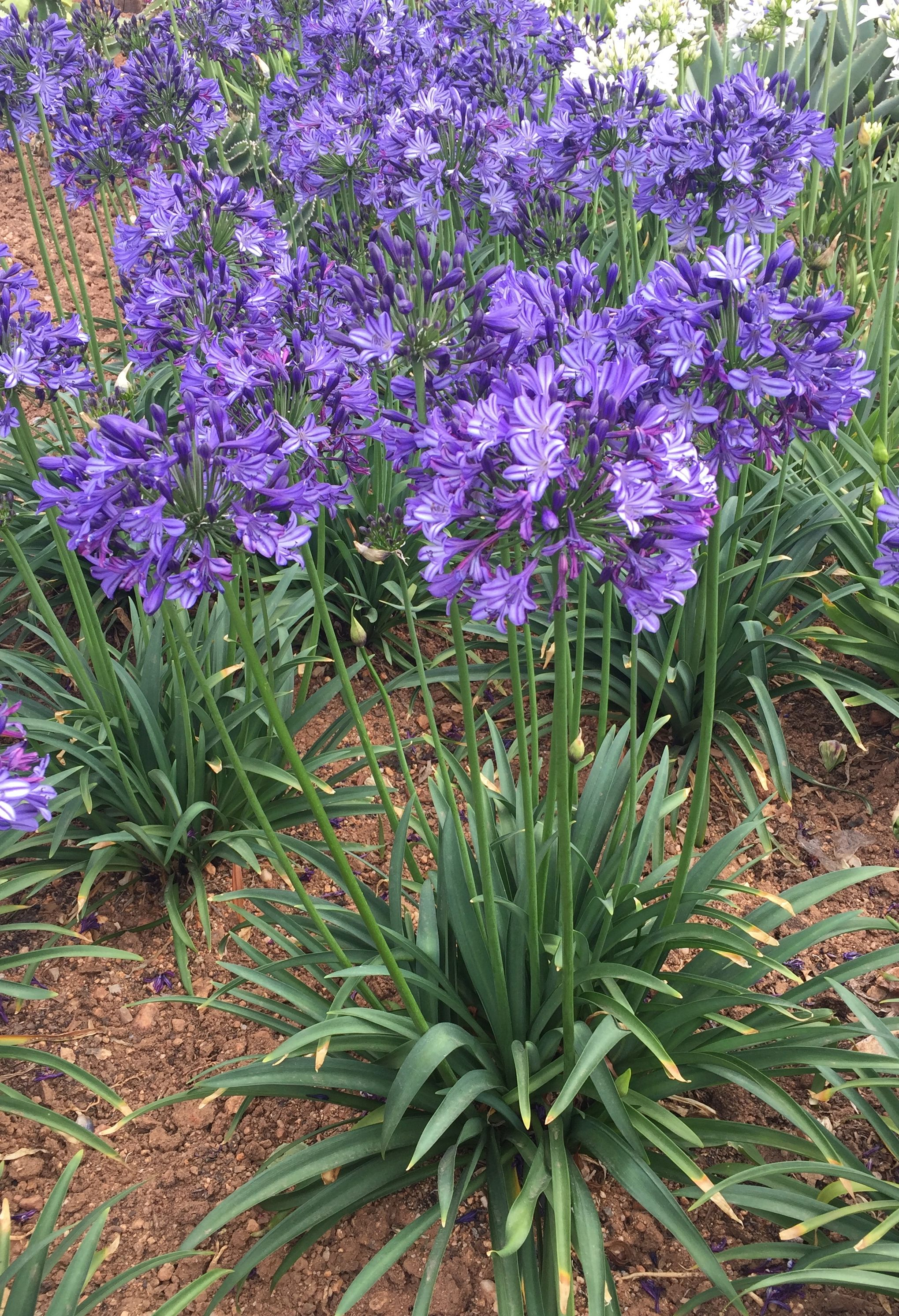 Agapanthus Buccaneer In Full Bloom If Well Looked After It Will Rebloom Throughout The Year Bred By De Wet Plant Breeders Plants Agapanthus Front Garden