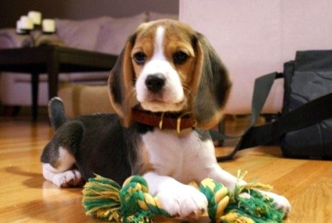 Shillington Kennels Beagle Picture Gallery Beagle Pictures