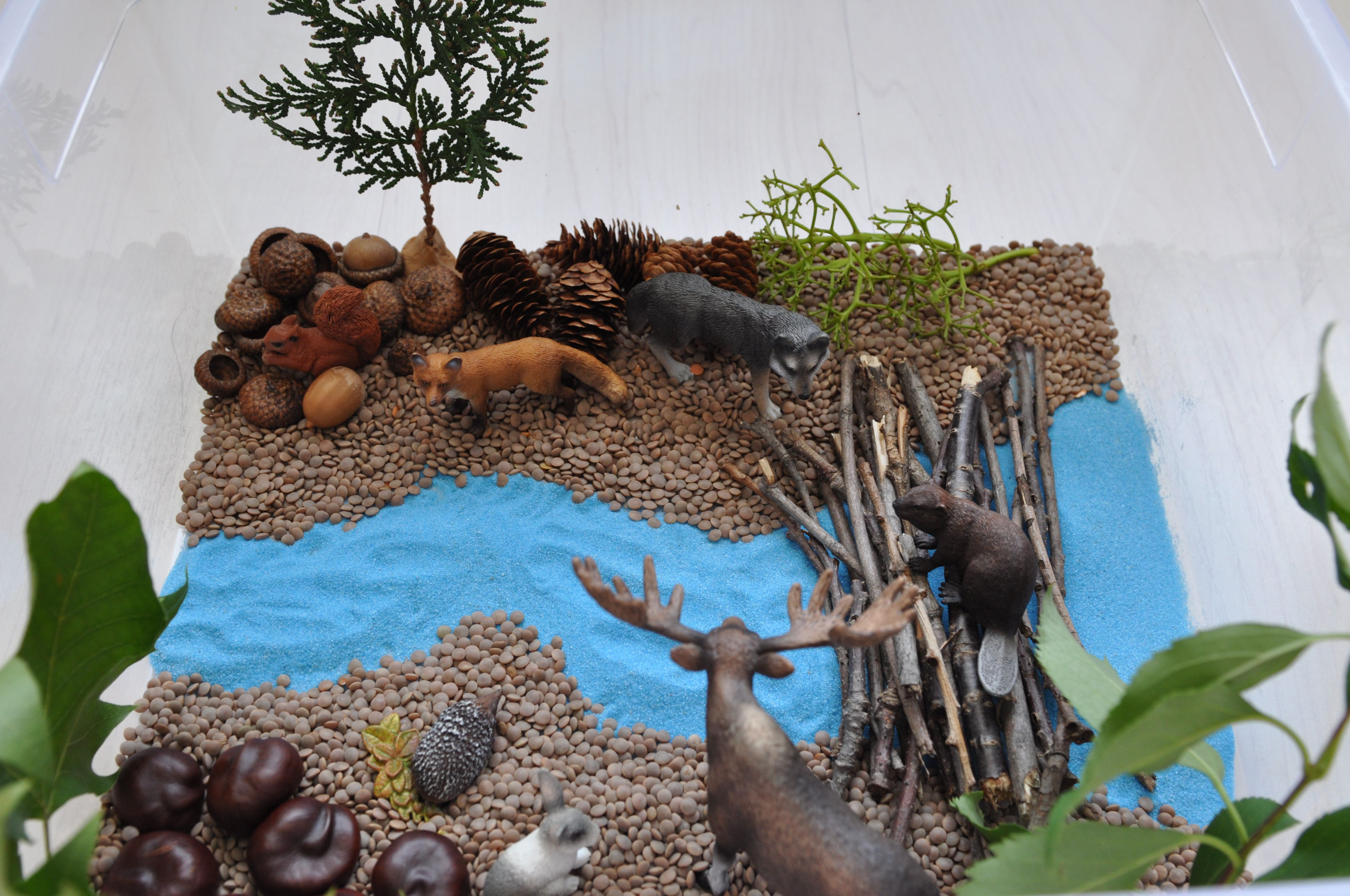 make a beaver dam out of sticks and set up a forest with animals around it sensory bin ingredients lentils blue sand sticks chestnuts acorn caps  [ 4288 x 2848 Pixel ]