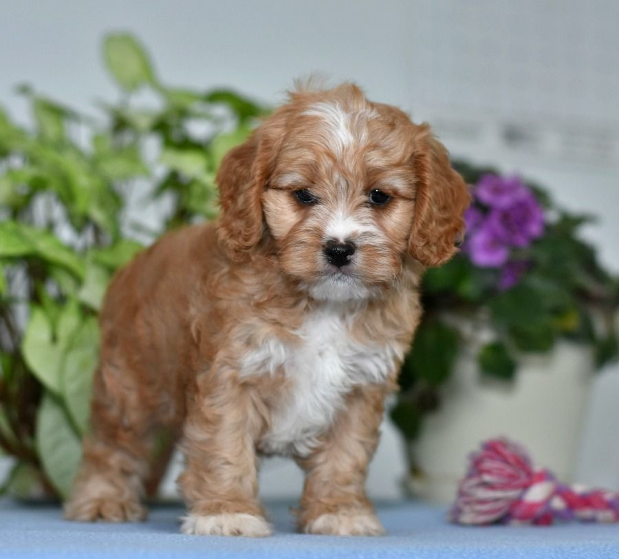 Need An Energetic Furbuddy To Spend The Summer With Look No Further Playful Cavapoo Darvin Is The Perfectfit For Cavapoo Puppies Cavapoo Puppies