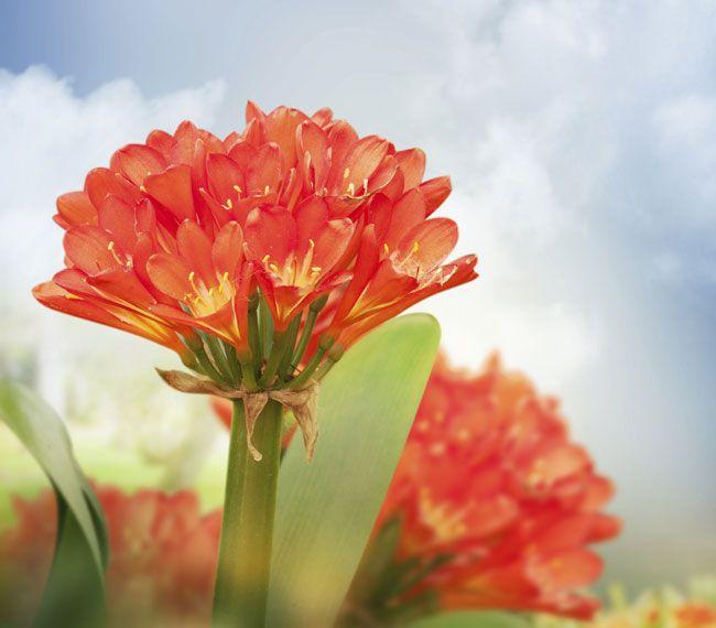 Coltivare La Clivia Con Immagini Giardino Di Fiori