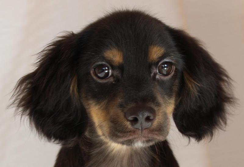 Adopt Ike On Dachshund Mix Cocker Spaniel I Love Dogs