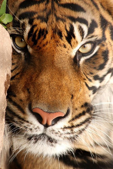 Tiger. More fierce, and intense...less of the 'adorable.'