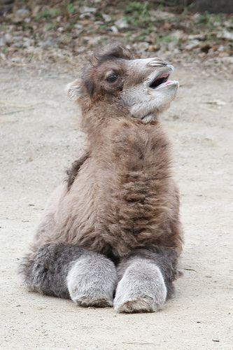 Baby Bactrian camel (Camelus bactrianus)