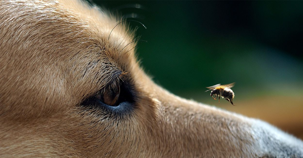 dog got stung by a bee Dogs, Bee, Sting