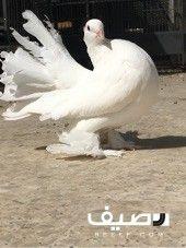 جوز رقاص هندي فاخر Animals Release Dove