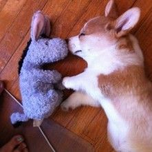 Corgi Loves Eeyore