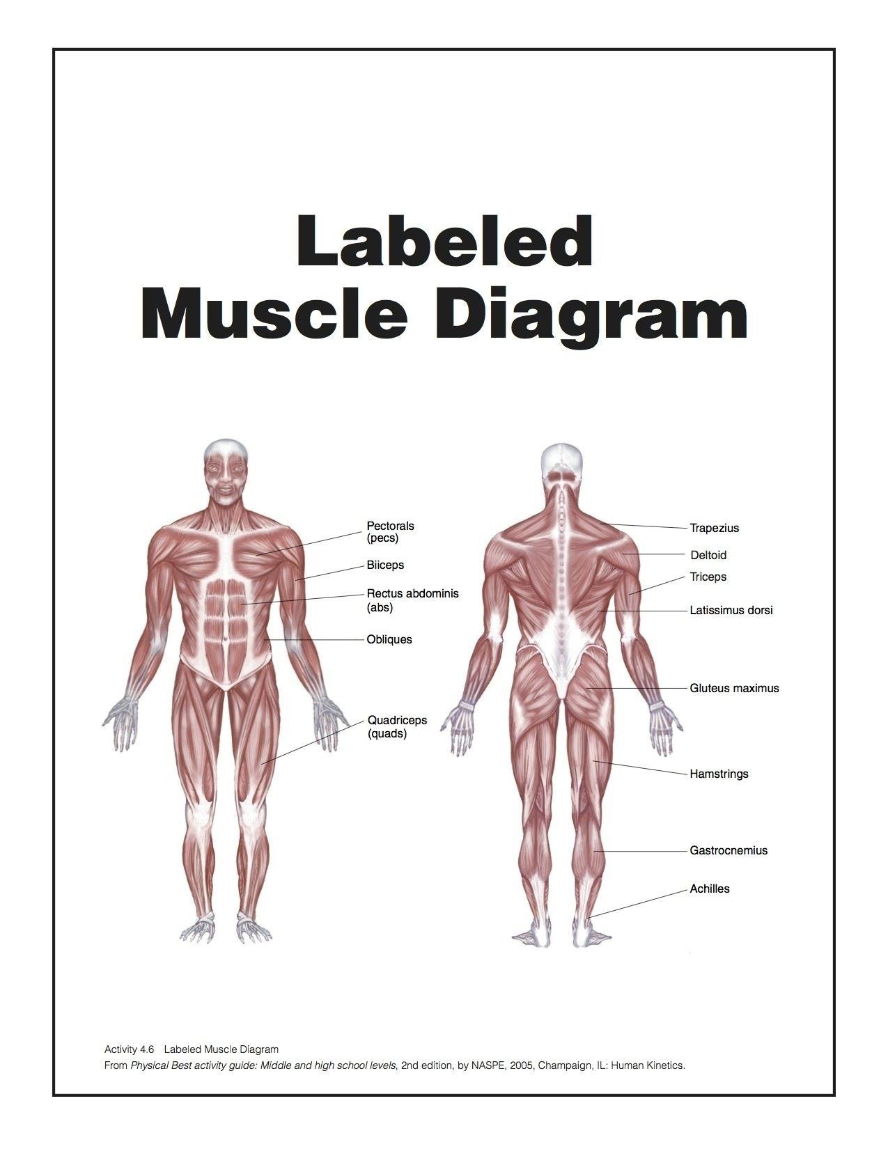 Diagram Of Muscular System Human Anatomy Organs Pinterest Body