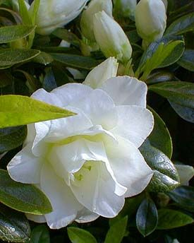 White Rosebud Azalea With Images Flower Show Flower Pictures