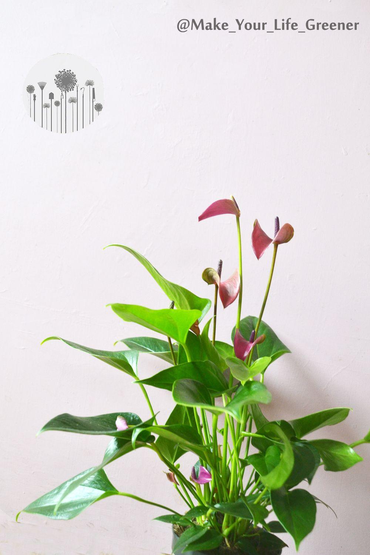 Anturium Jak Dbac I Pielegnowac Uprawa Wymagania Choroby I Szkodniki Anturium Plant Leaves Plants Make It Yourself