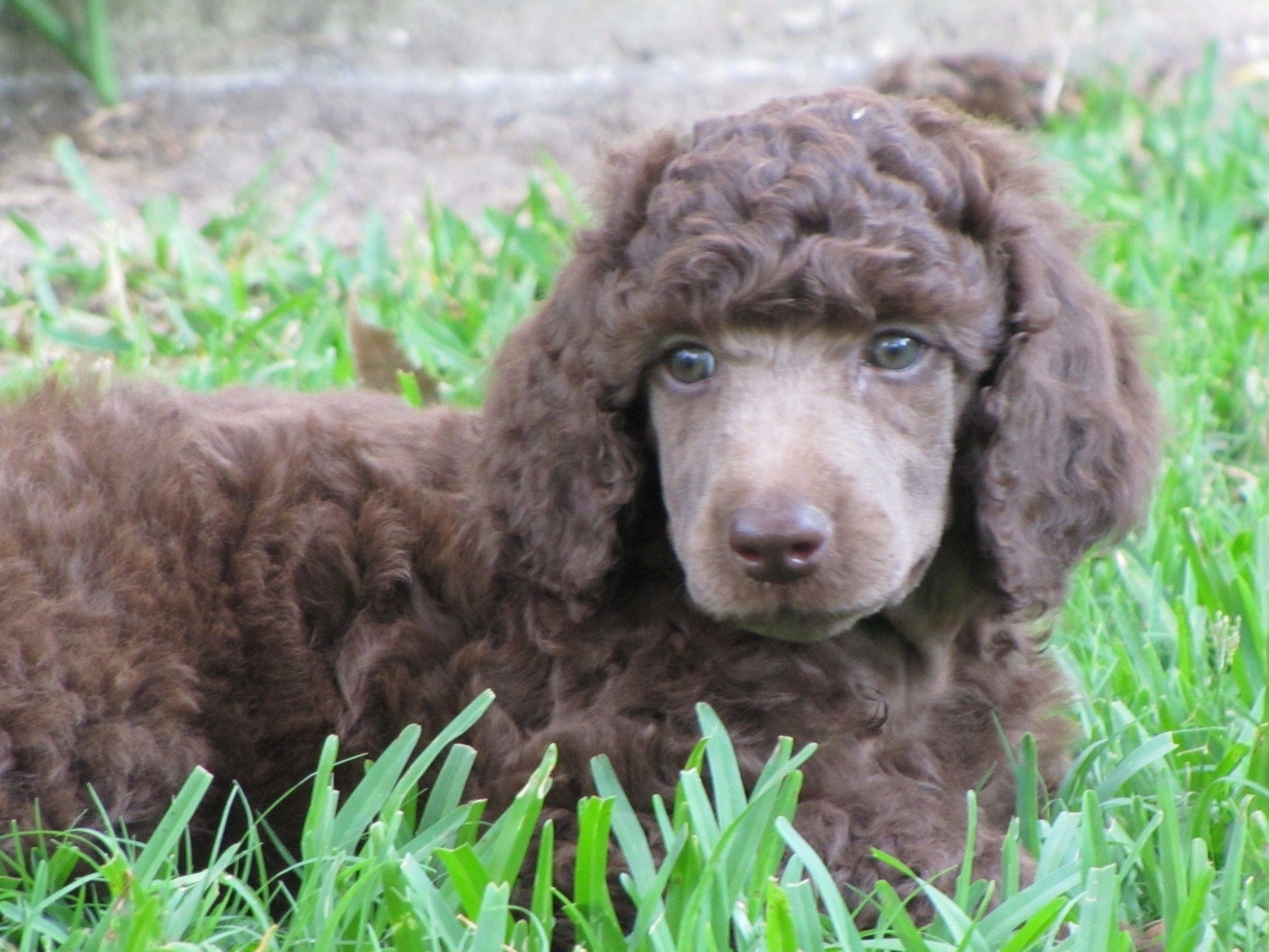 6 Weeks Chocolate Standard Poodle Chocolate Poodle Brown Dog