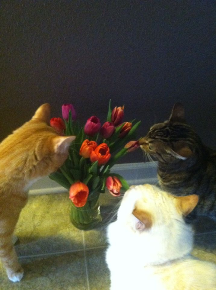 Cats Tulips Cats Smelling Smelling Flowers Cats