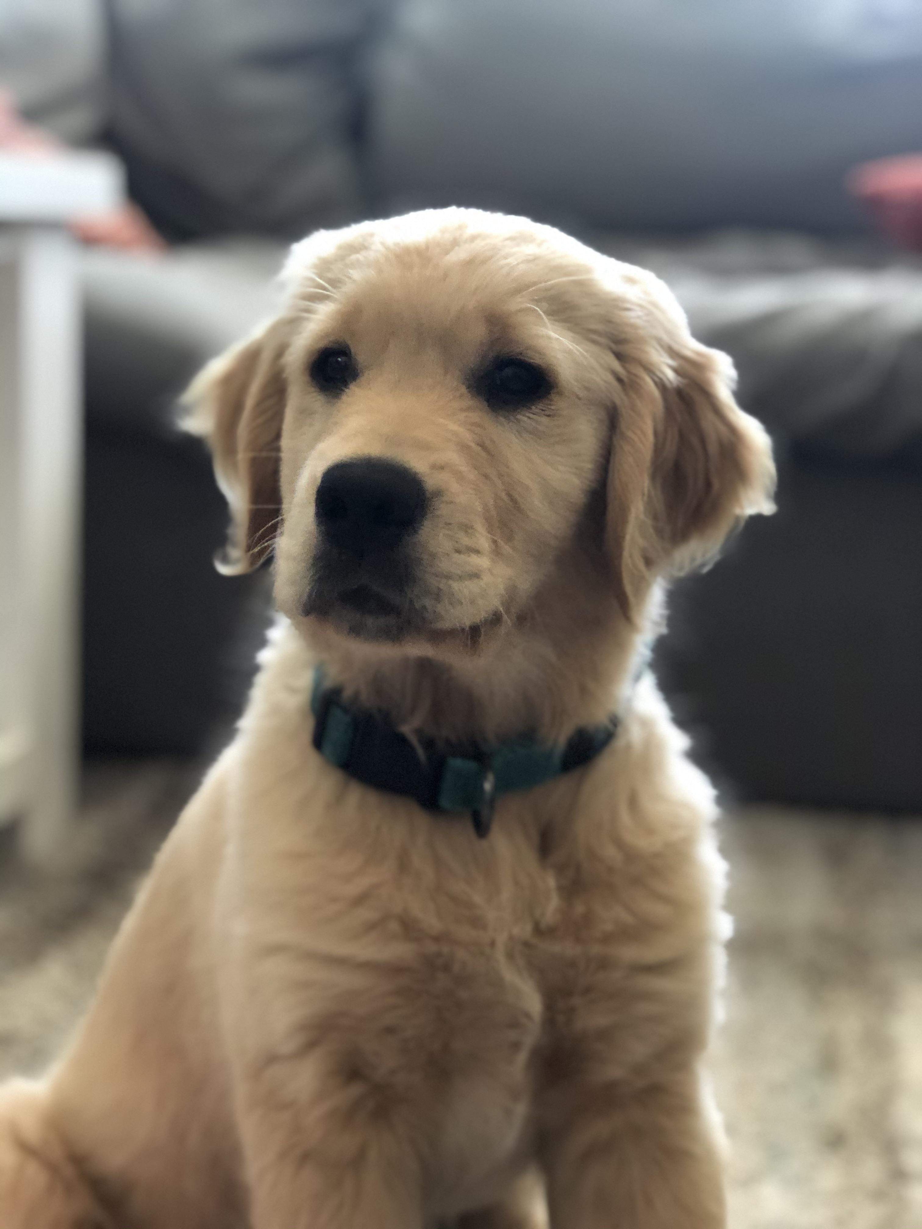 He S Growing So Fast Super Cute Goldenretriever 3 In 2020 Golden Retriever Golden Retriever Corgi Mix Dogs Golden Retriever