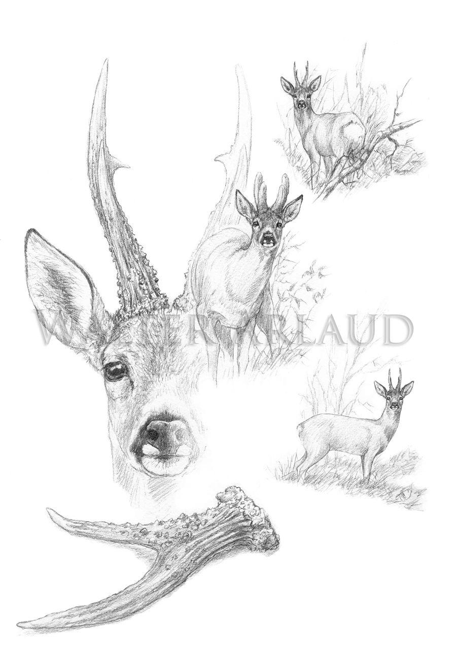 Etude dessin chevreuil / Roe deer drawing/ Walter Arlaud ...