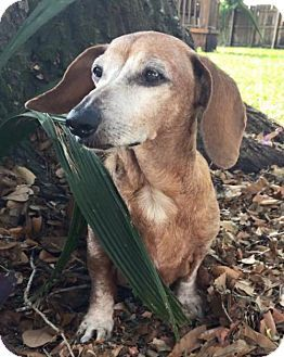 Pictures Of Zuri A Dachshund For Adoption In Weston Fl Who Needs