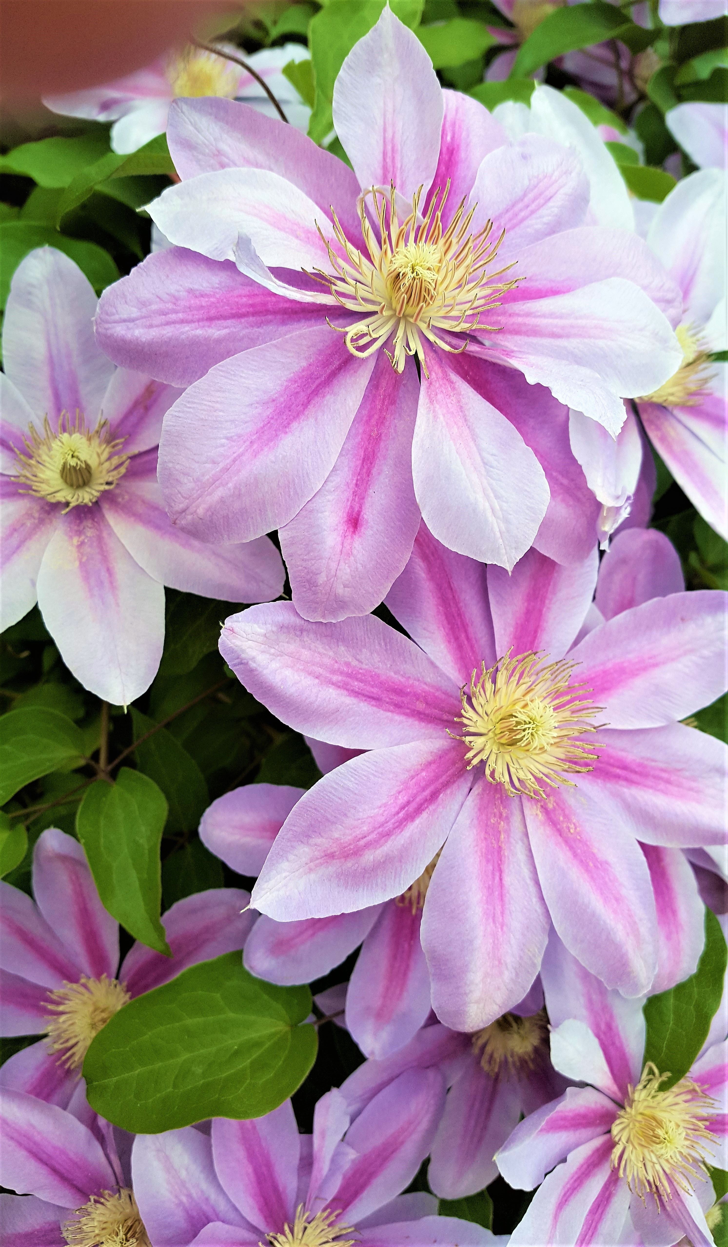 Climbing Flowering Vine Clematis With Lavender Blooms Flowers