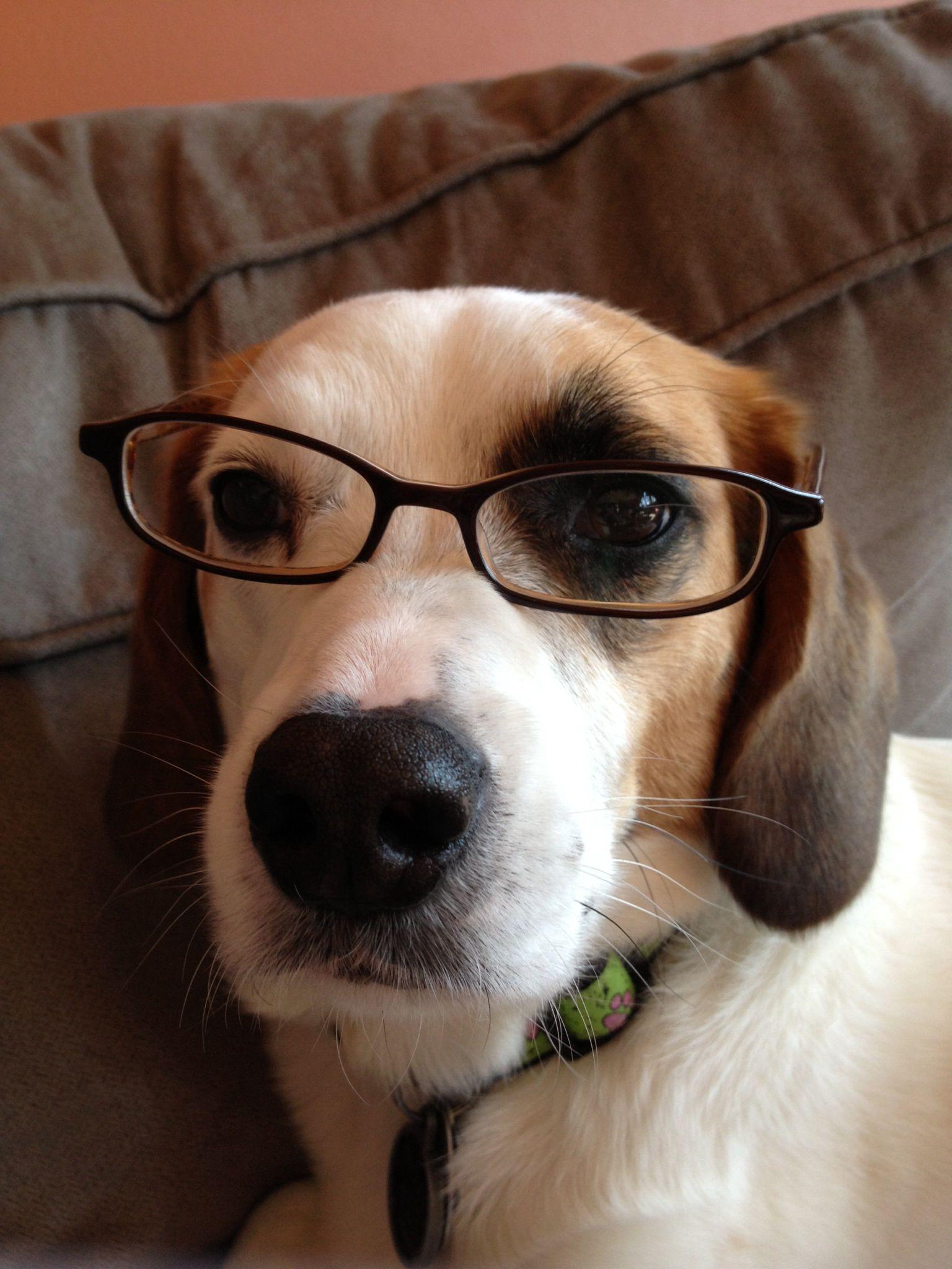 Doggy Wearing Glasses Jack Russell Beagle Mix Dog Cat Jack