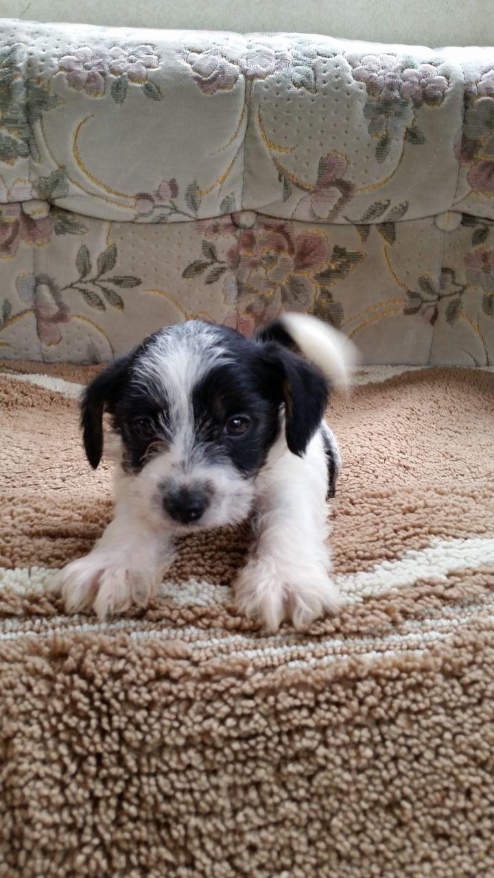 Jack Russell Puppy Jack Russell Puppies Puppies Mans Best Friend