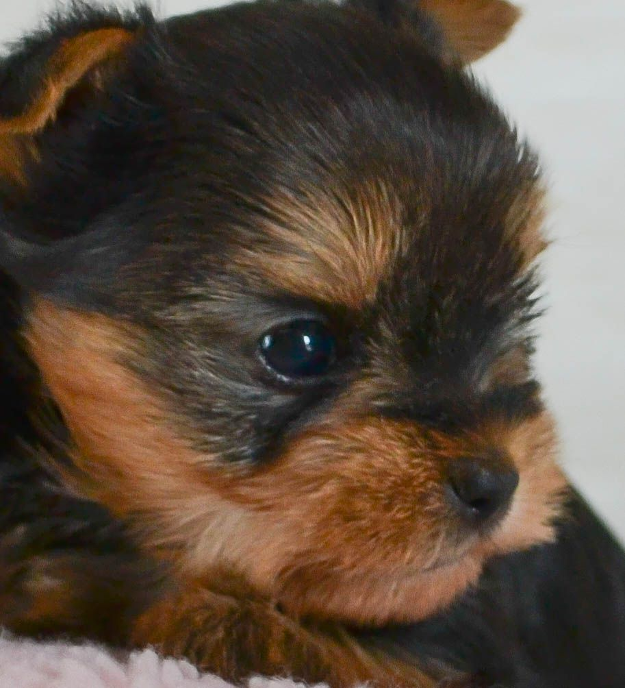 Teacup Yorkies For Sale In Tn Teacup Parti Yorkies For Sale In Tn