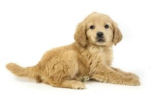 Goldenquest Comfort Retriever The World S First And Finest