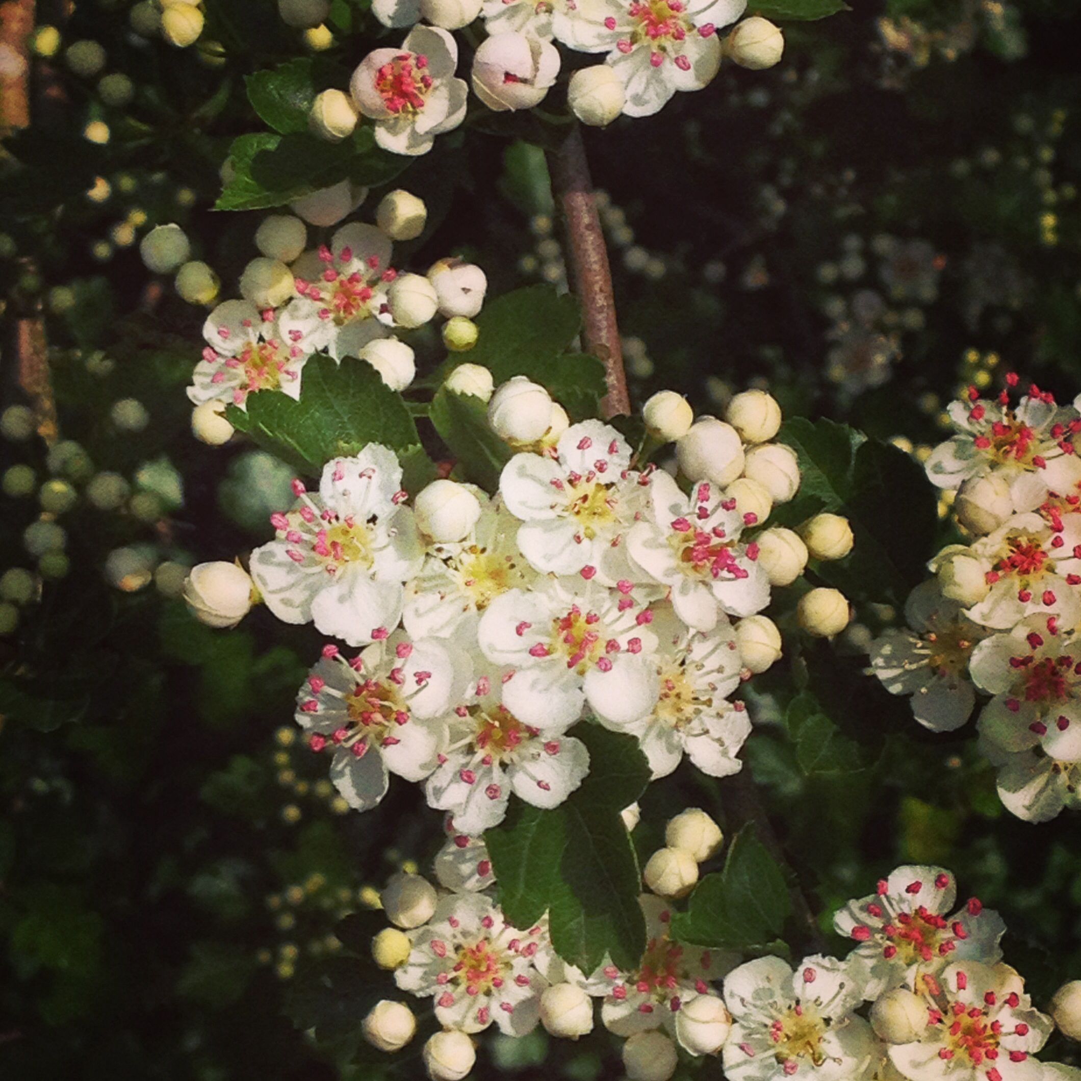 Hawthorn flowers are a certain sign that spring is in full flow