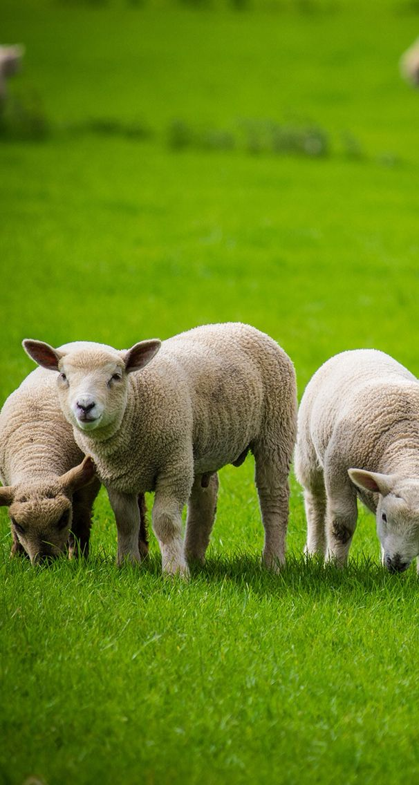Wallpaper Background Iphone Sheep Lamb Animal Photo Sheep Animals