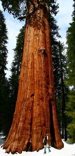 Looking up to the biggest tree on earth, General Sherman tree