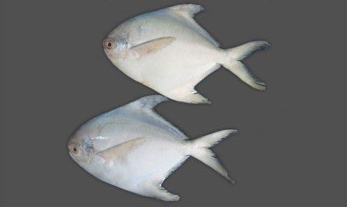 White Pomfret Fish Health Benefits And Nutrititon Facts Pomfret Fish Pomfret Health Benefits