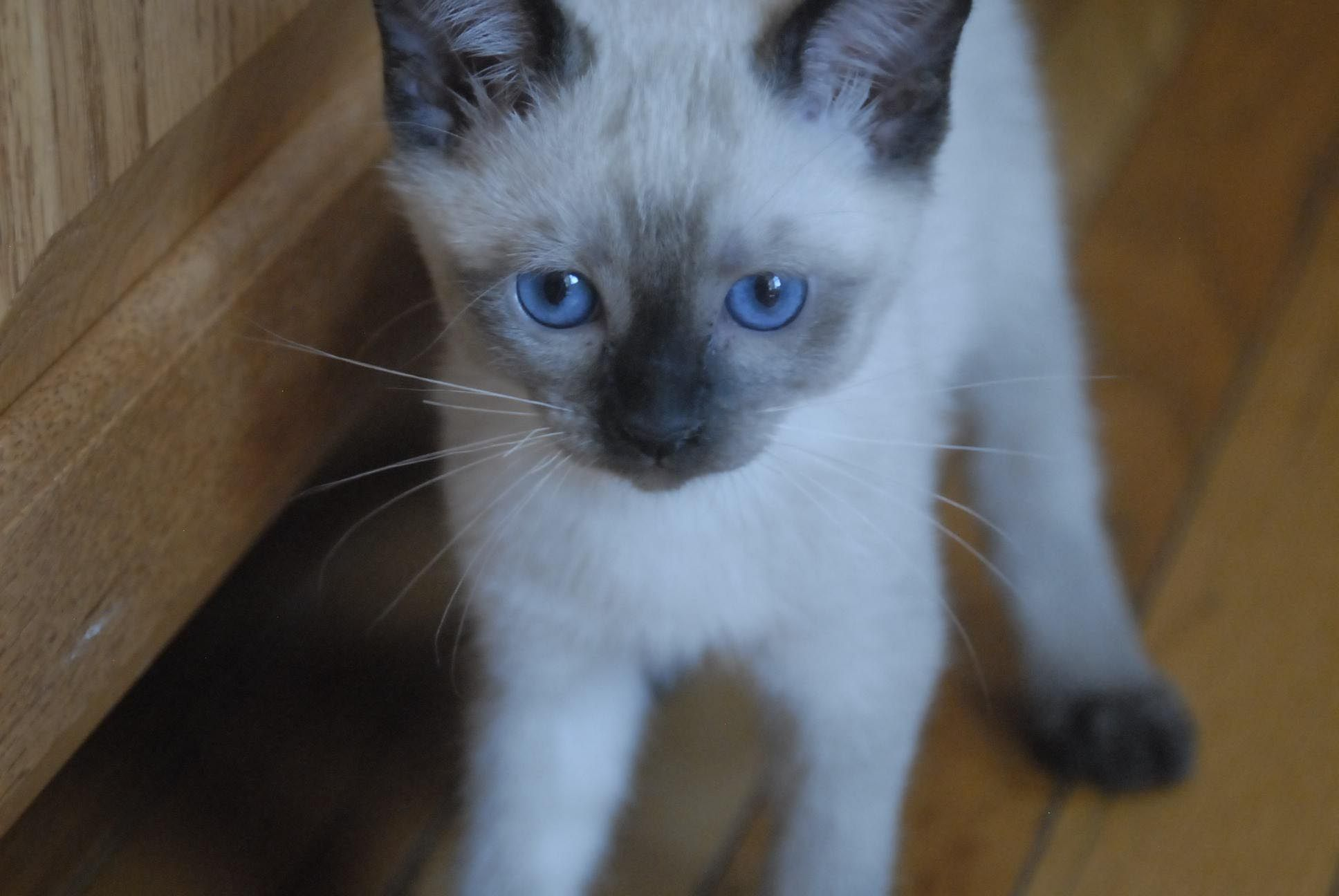 Adorable Siamese kittens for sale available now West Chester