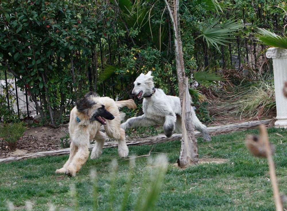 Afghan Hound Rescue Southern California Rescuing Afghan Hounds