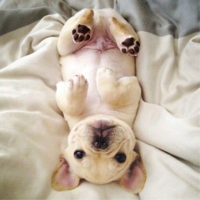 Good French Bulldog Chubby Adorable Dog - 74a30432ef2a8c9425b47e4ac2663c9e  Picture_708687  .png