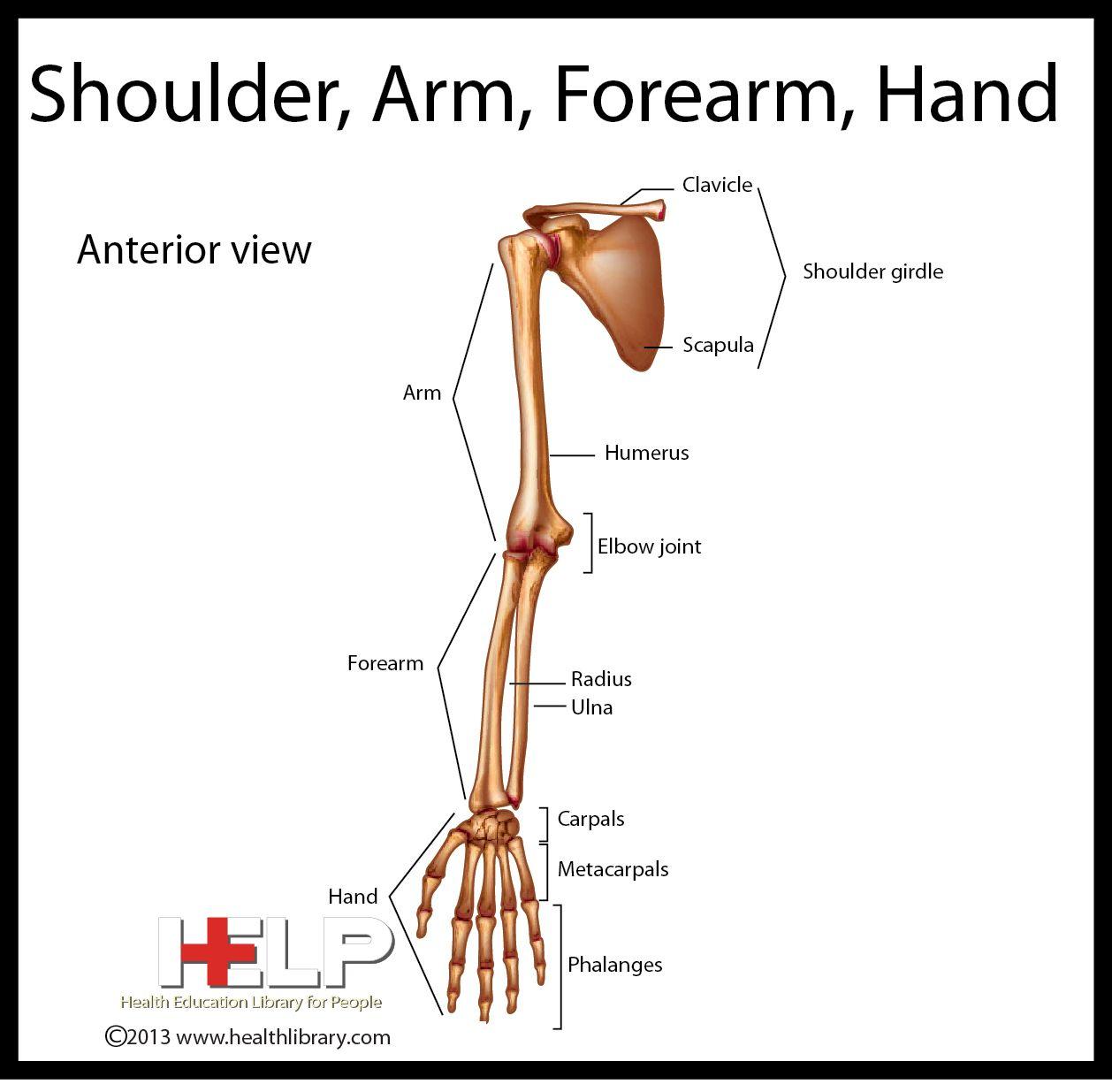 Shoulder Arm Forearm Hand