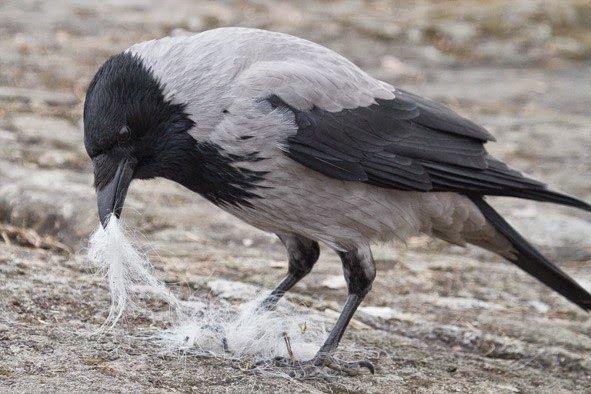 Kaarina Davis: Ihmeellinen varis -tietokirja