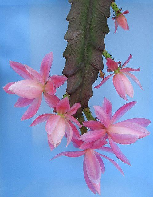 Epiphyllum | Flickr - Photo Sharing!