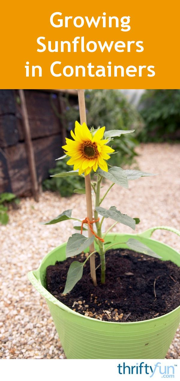 This guide is about growing sunflowers in containers Sunflowers are a wonderful addition to any garden space for their beautiful colors and visiting birds