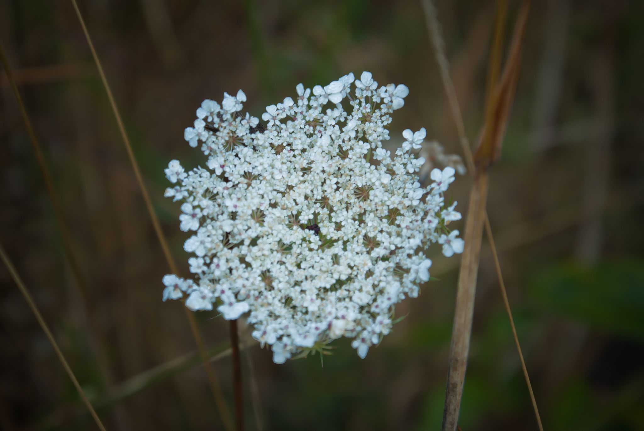 https://flic.kr/p/d7uAq7   WA Wildflowers   Taken near Woodland, WA and Mt. Saint Helen